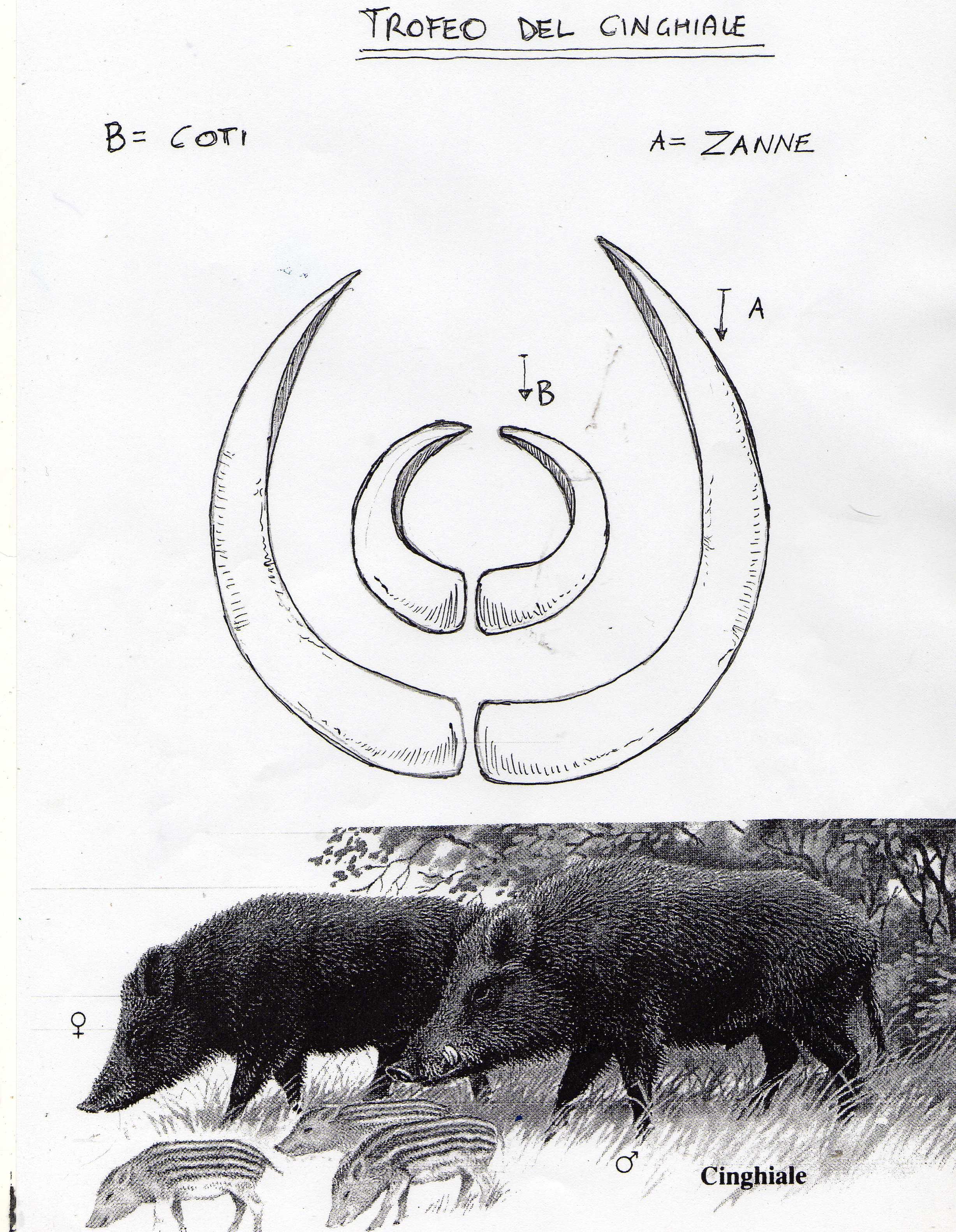 struttura del pene di cinghiale